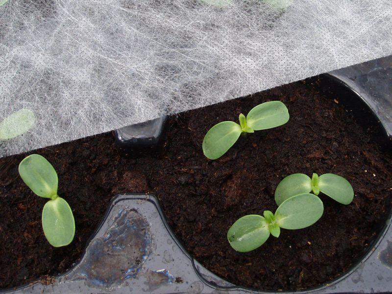 Jungpflanzen unter Vlies