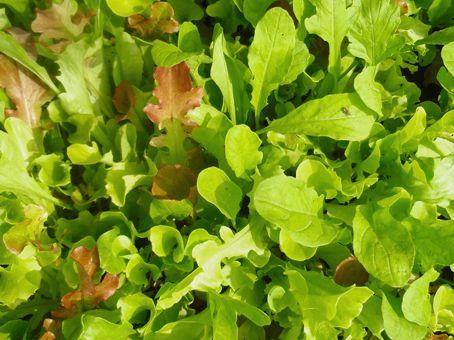 Salatmischung 'Misticanza', ©ReinSaat