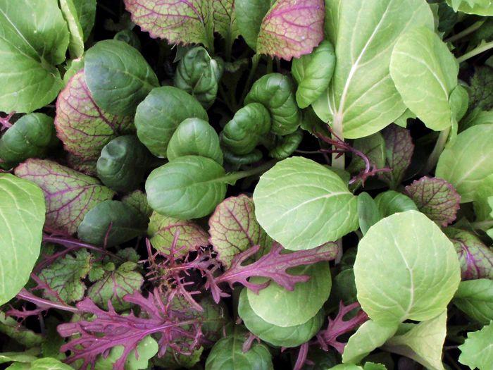 Asia-Gemüse 'Oriental Mix', ©ReinSaat