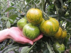 Tomate 'Green Zebra', ©ReinSaat