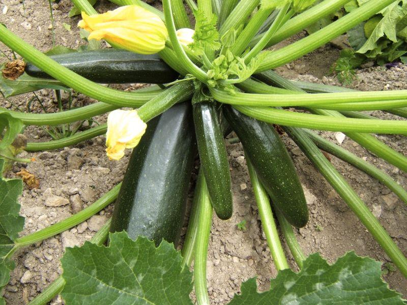 zucchini in hochbeet interessante ideen. Black Bedroom Furniture Sets. Home Design Ideas